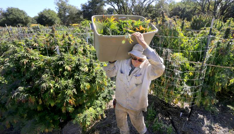 Legal pot brings temporary tax break for some medical users