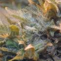 Marijuana with mold on it. (Image courtesy of Marijuana Growers HQ)