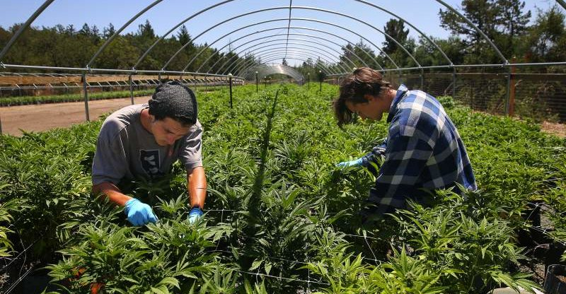 SPARC farm in Sonoma Valley, growers trim cannabis plants. Chris Chung/PD