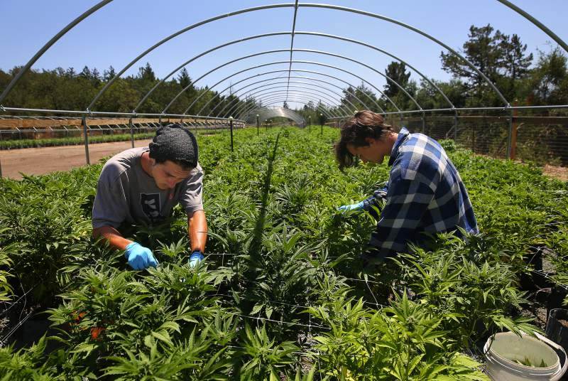 Why aren't growers rushing for pot permits in Sonoma County?