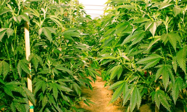 California Has a Cannabis Surplus And No Way To Export Any Of It