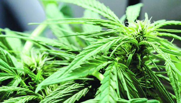 Cannabis businesses ask Sonoma County for more time to enter regulated market