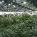 Cannabis business rush to file