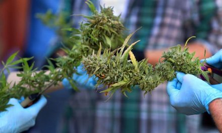 Cannabis harvest heats up in Sonoma County