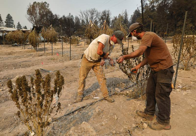 Fires destroy marijuana crop; millions in taxes at risk