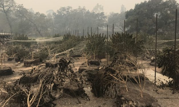 Northbay cannabis farms devastated by fires