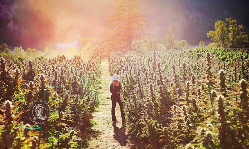 Croptober 2018: Northern California's cannabis harvest in photos
