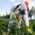Study: Deadly pesticide use increases at illegal cannabis farms